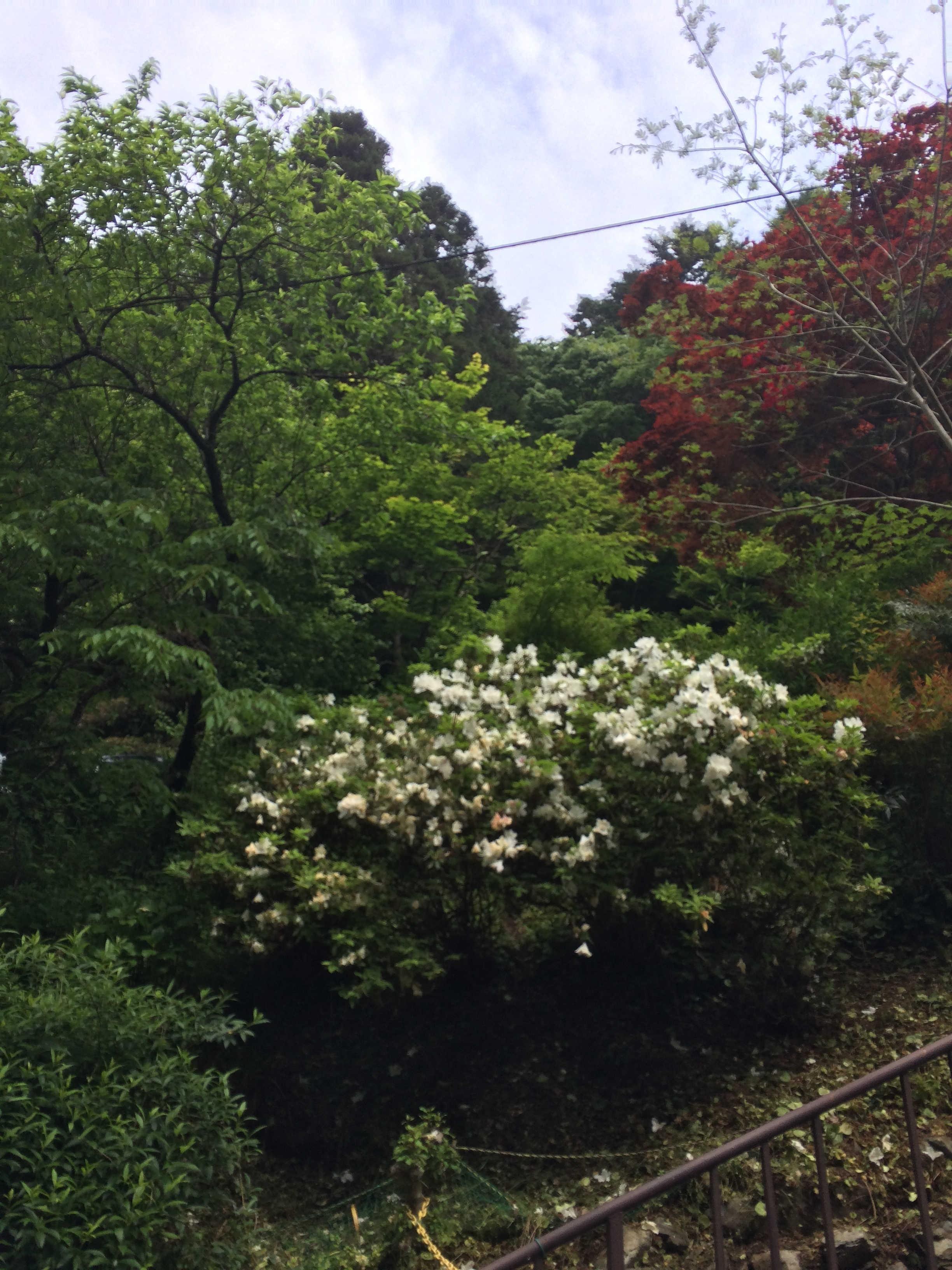 高尾山の植物5月