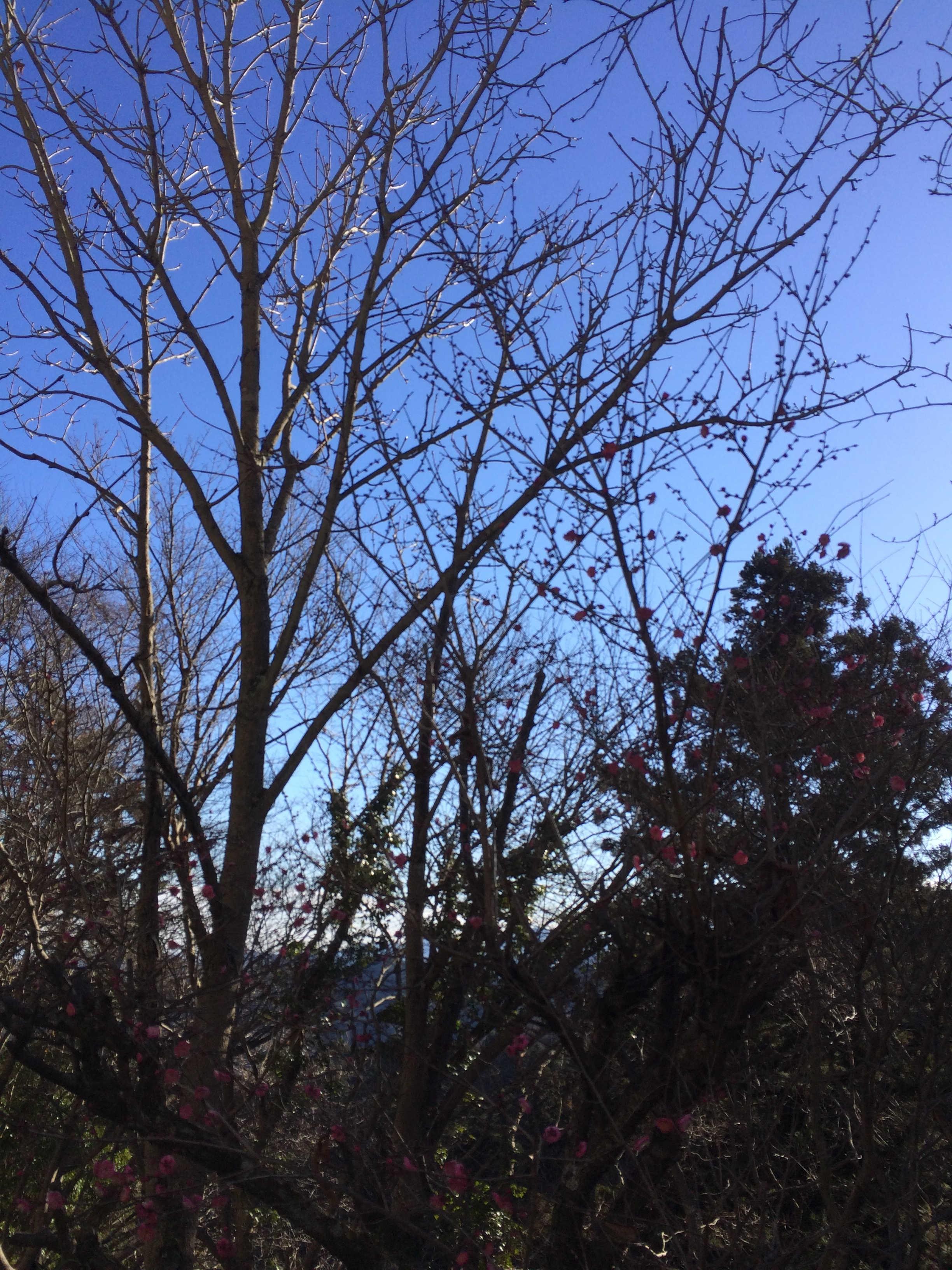 一月の高尾山植物