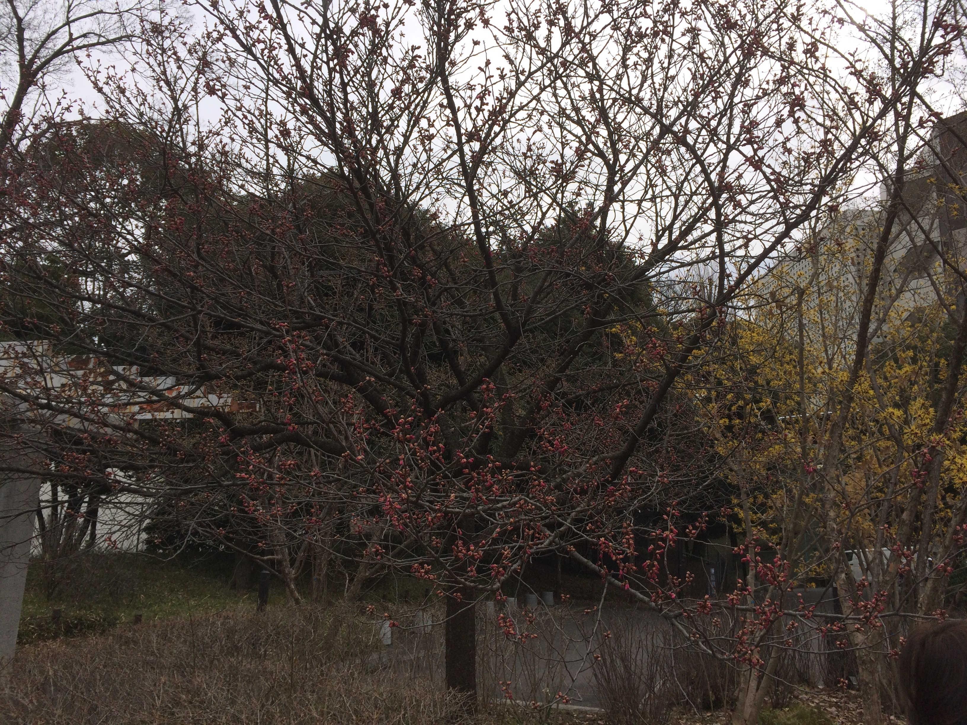清水門内の梅花