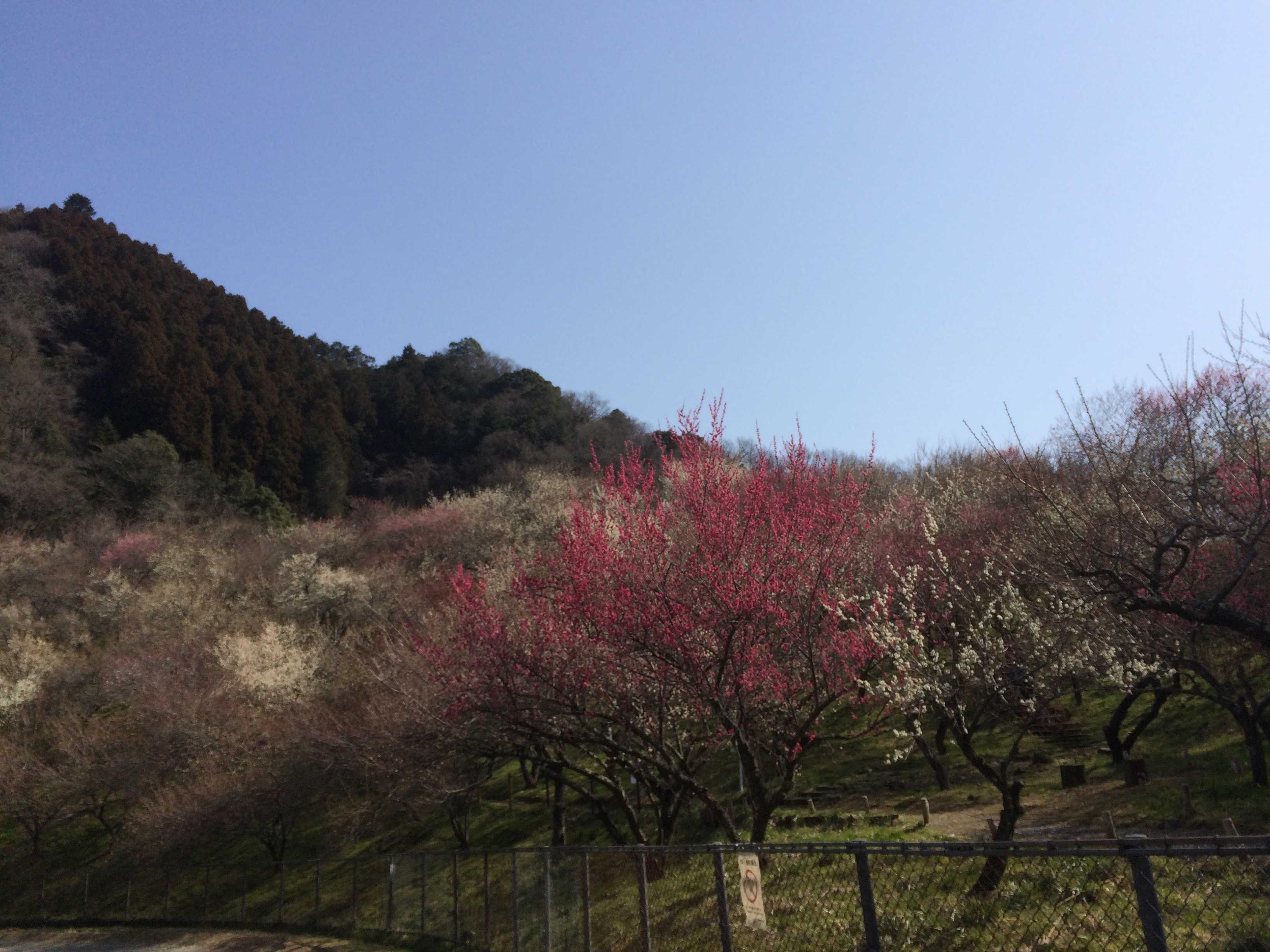 駐車場から木下沢梅林の景観