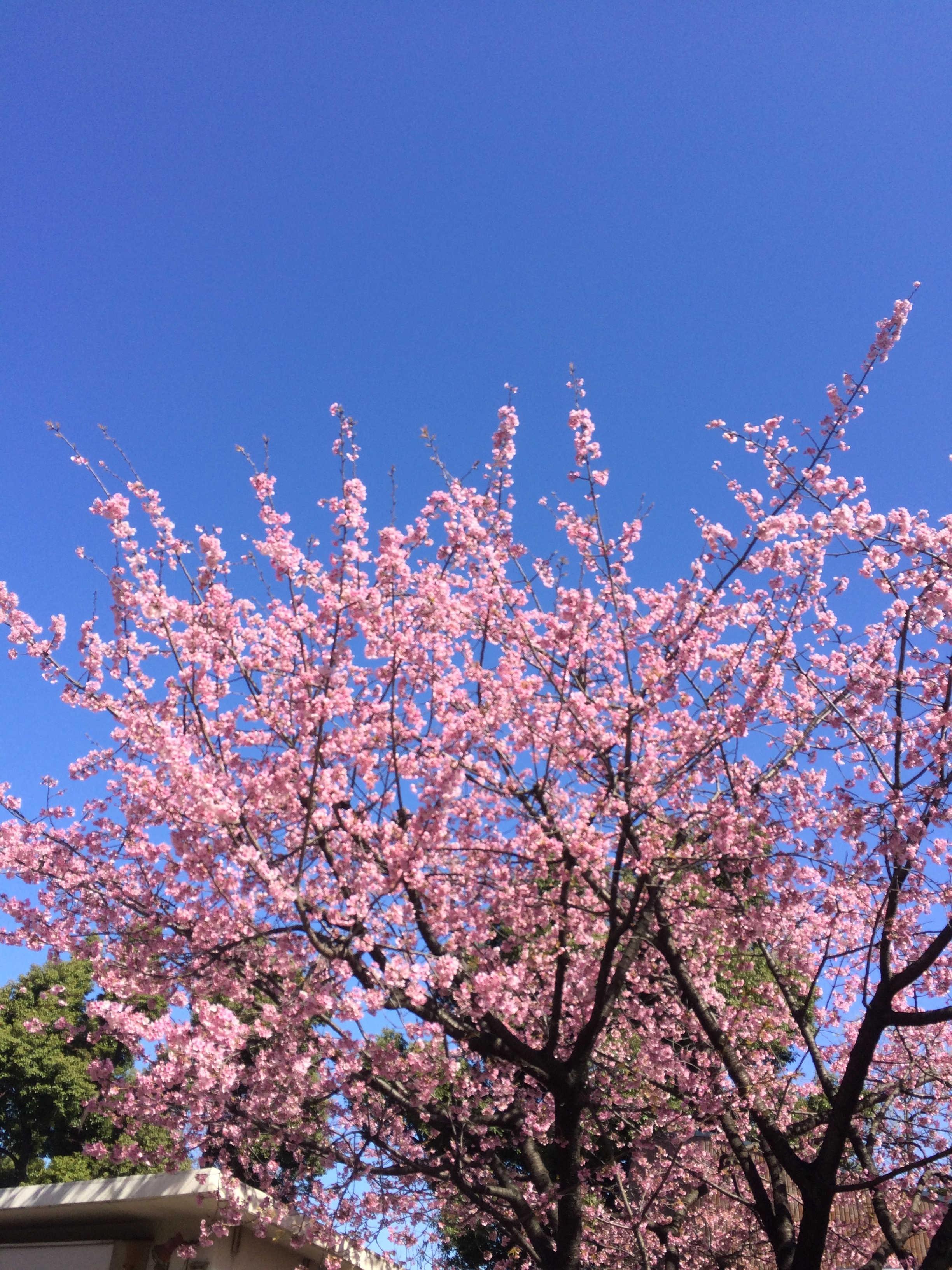 長洲藩上屋敷跡(日比谷公園)のさくら