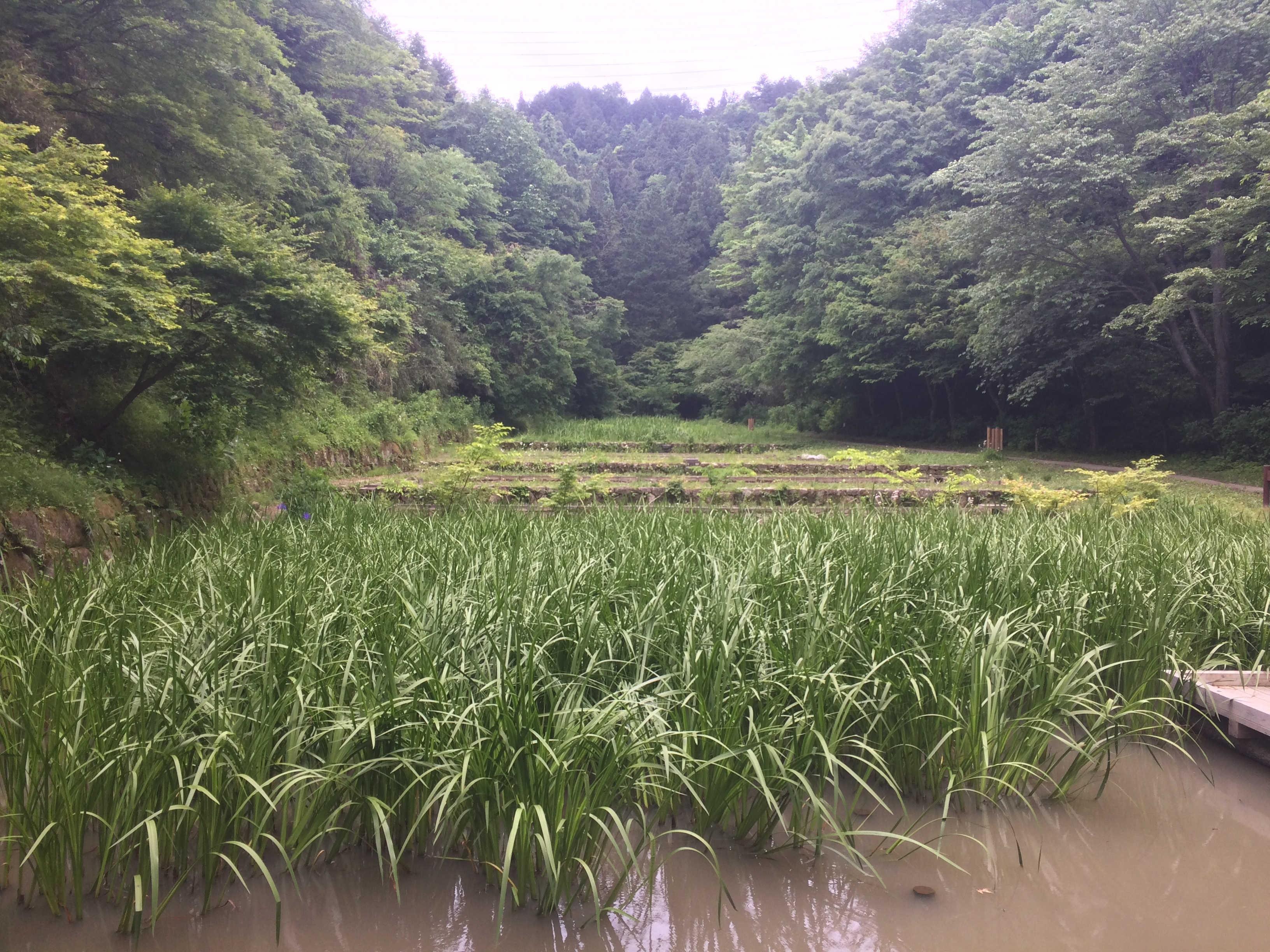 小峰公園水田