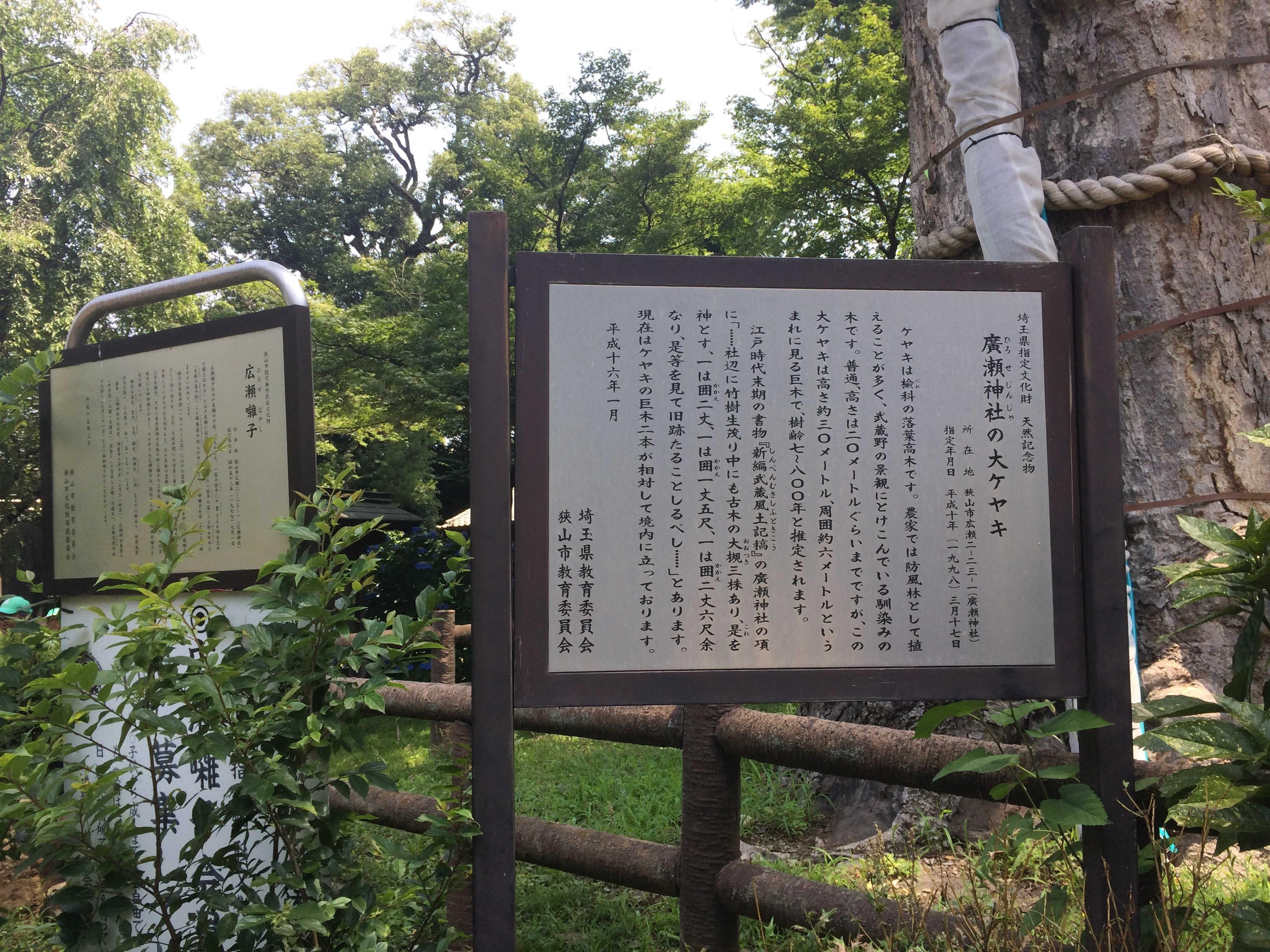 廣瀬神社の大ケヤキ