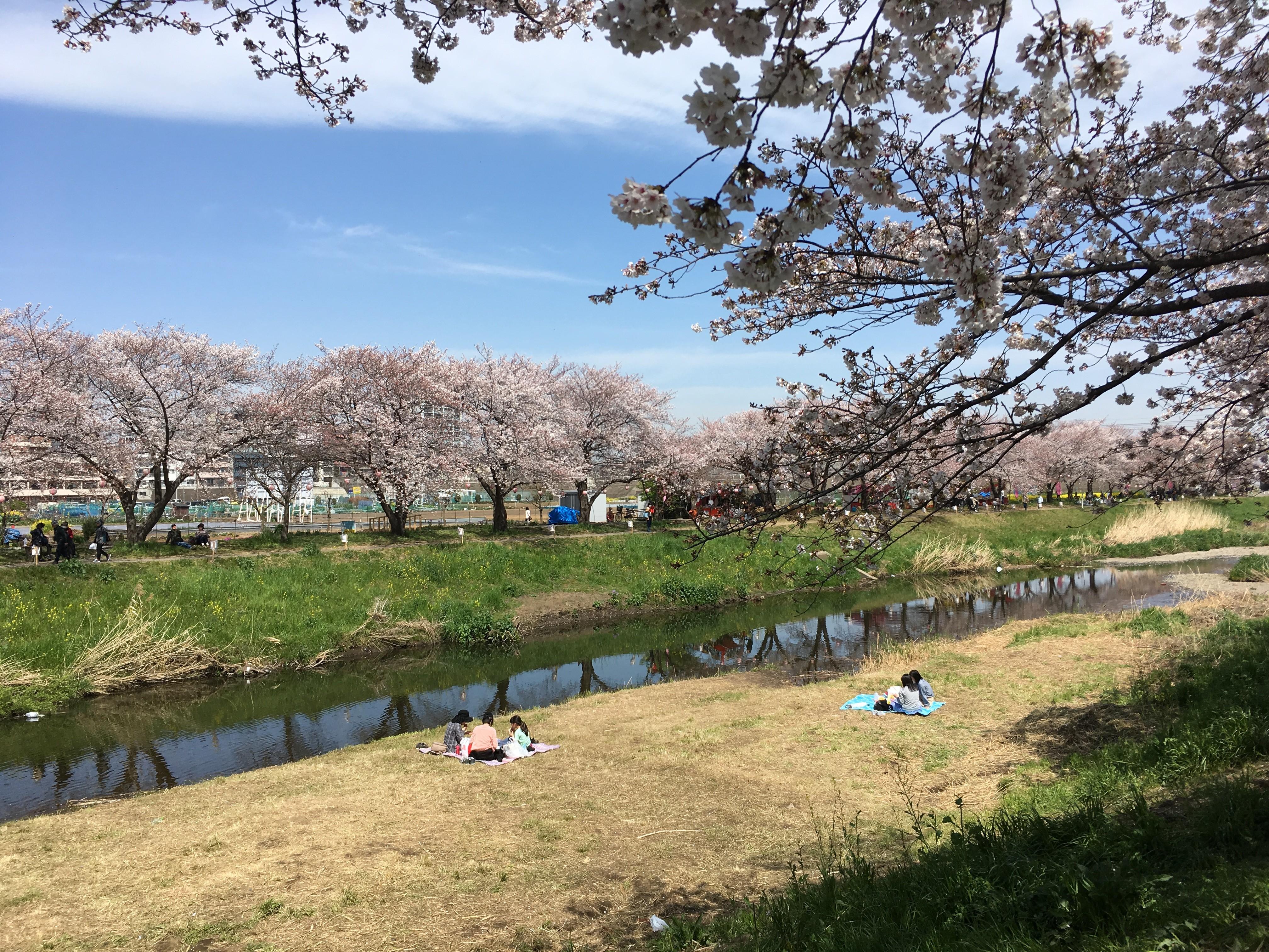 右岸黒目川遊歩道から左岸の桜を望む