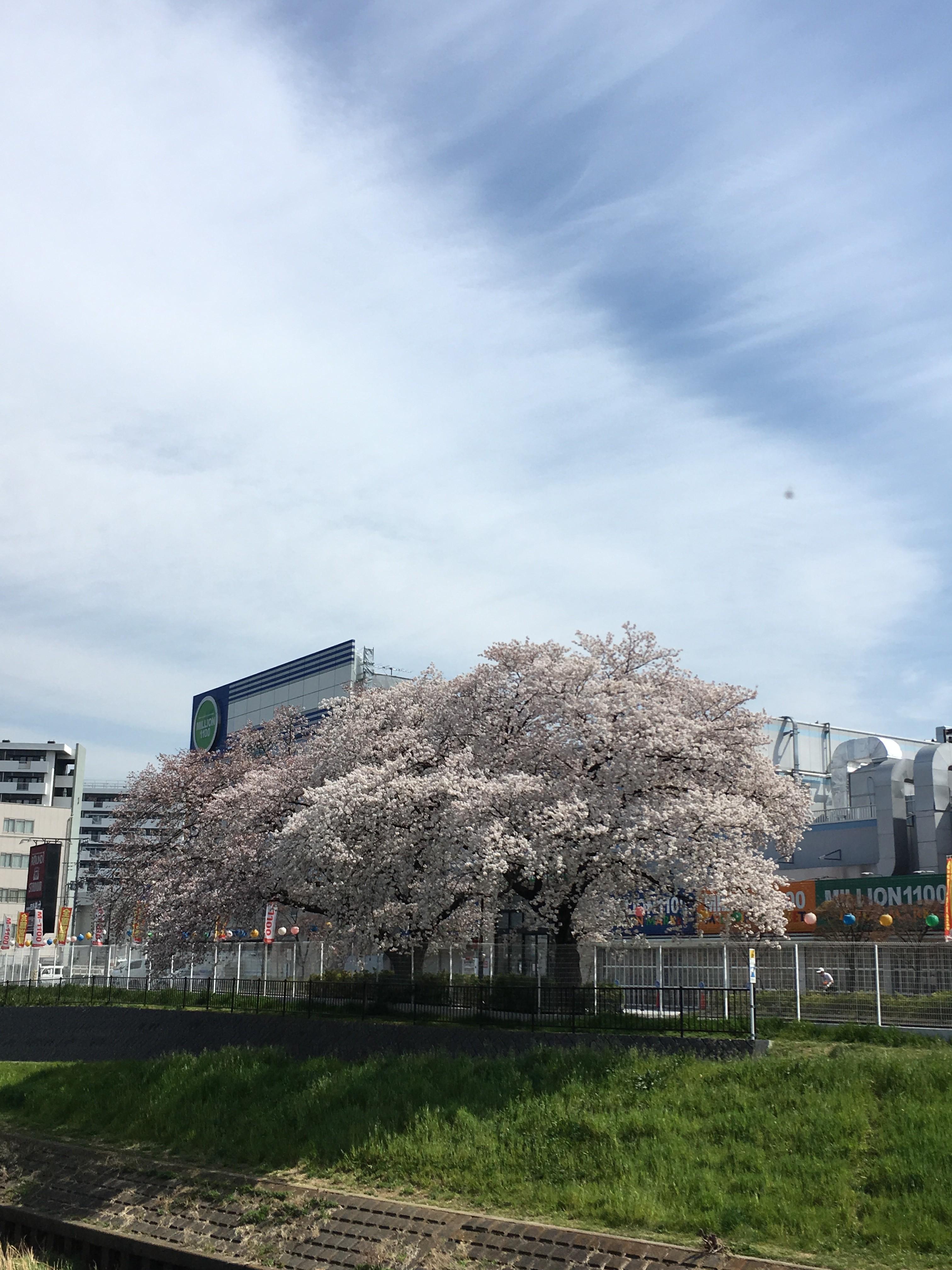 黒目川遊歩道から右岸の桜を望む