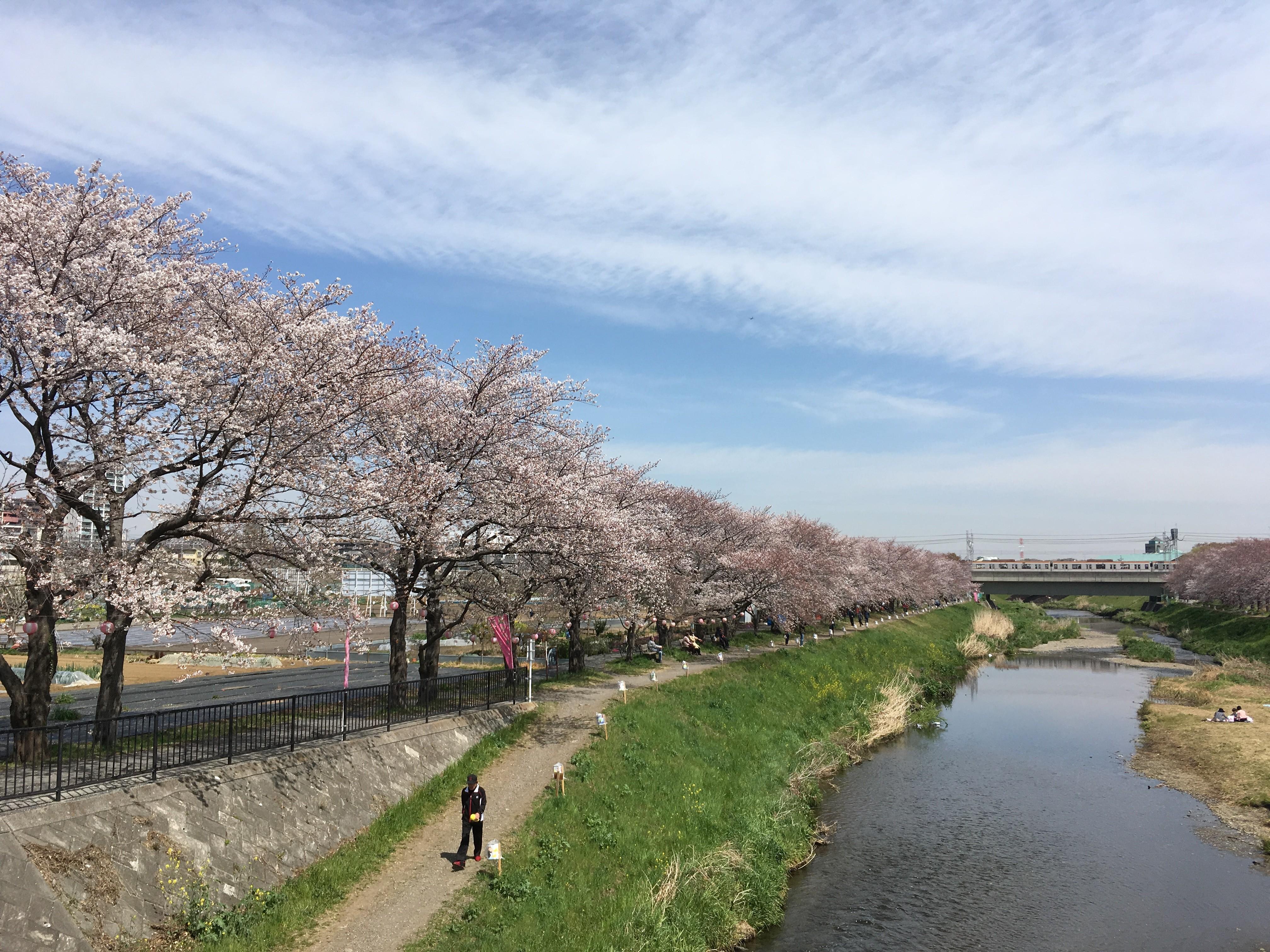 黒目川遊歩道から左岸の桜を望む