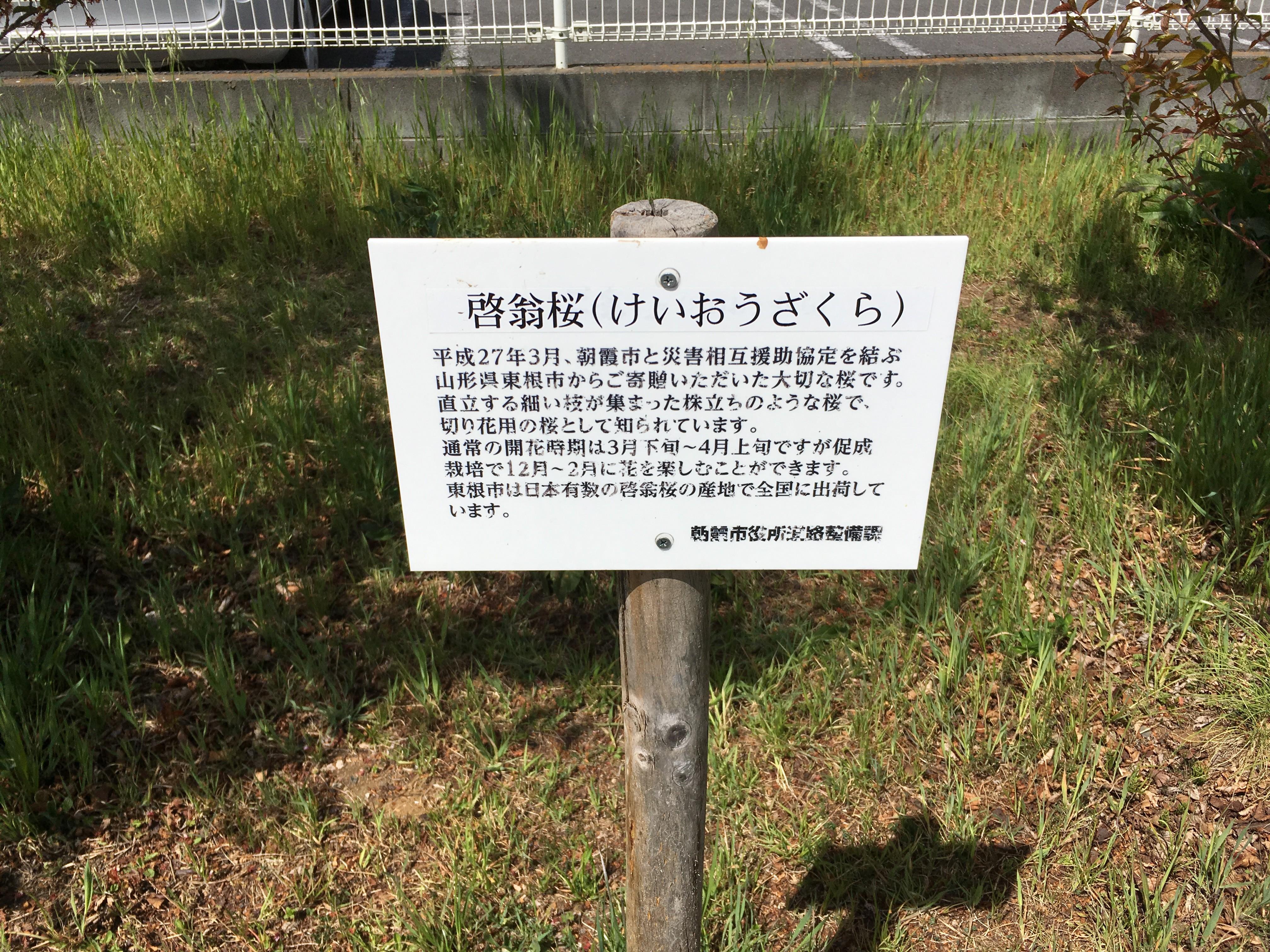 黒目川遊歩道の啓翁桜(けいおうざくら)説明文