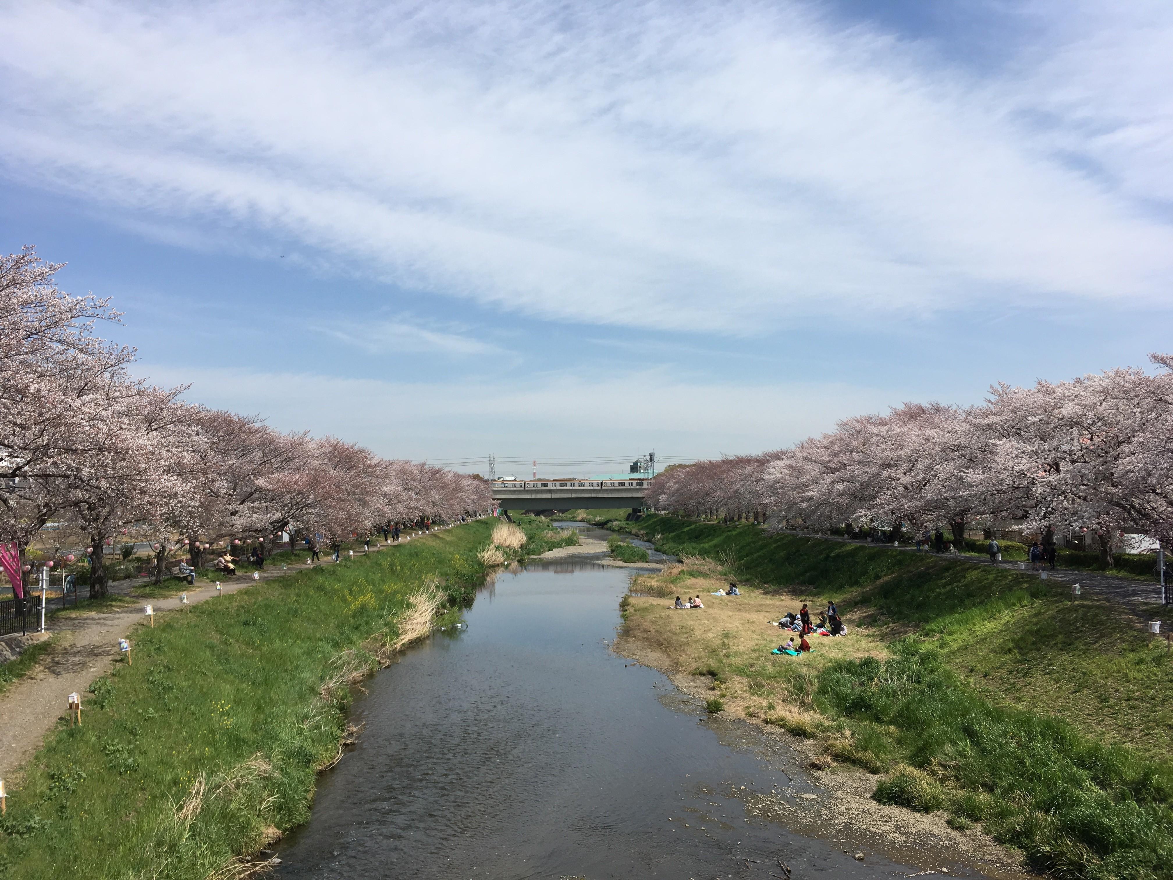 黒目川遊歩道の東林橋から両岸の桜を望む