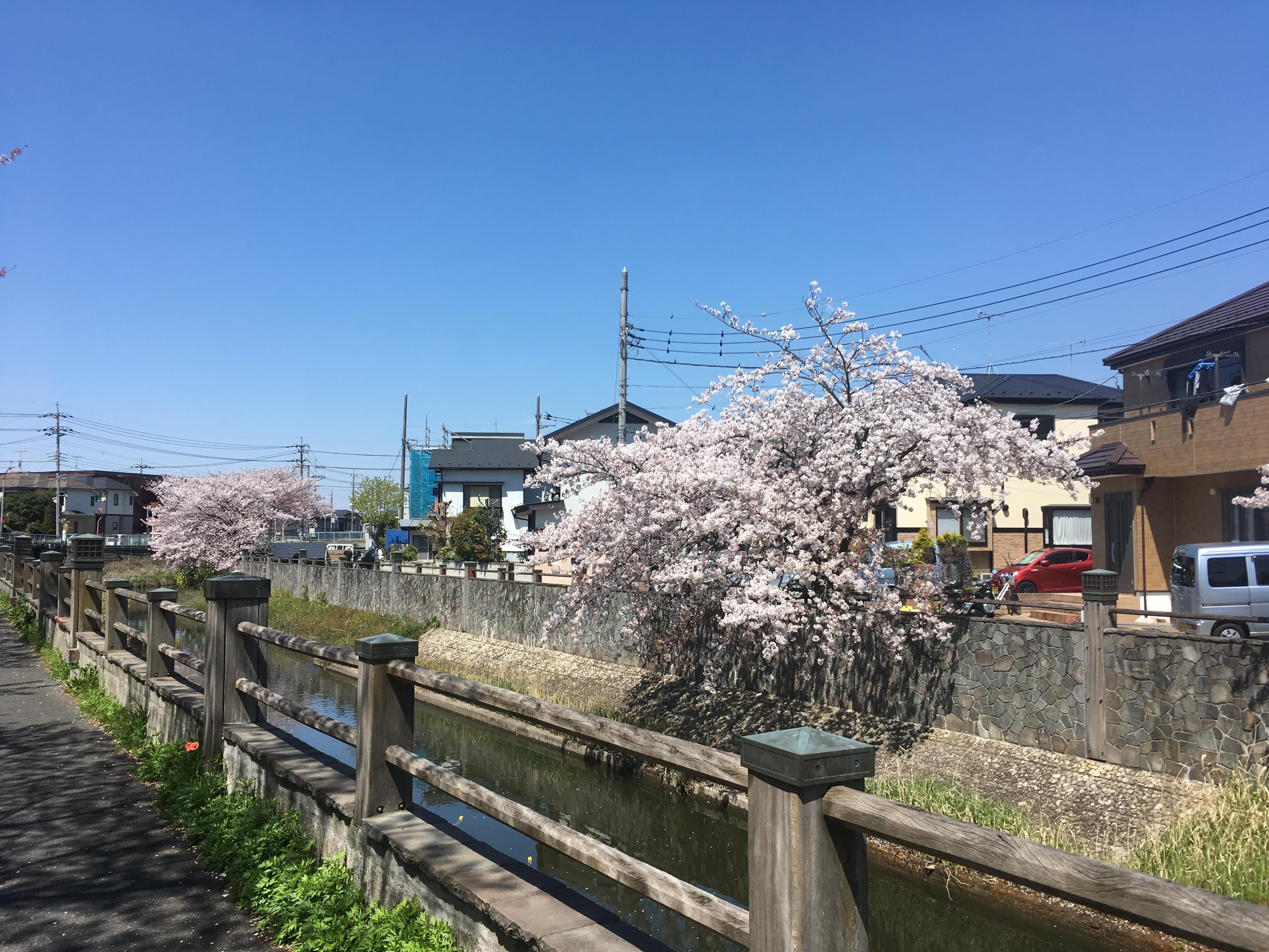 いちかわ真間川堤桜並木
