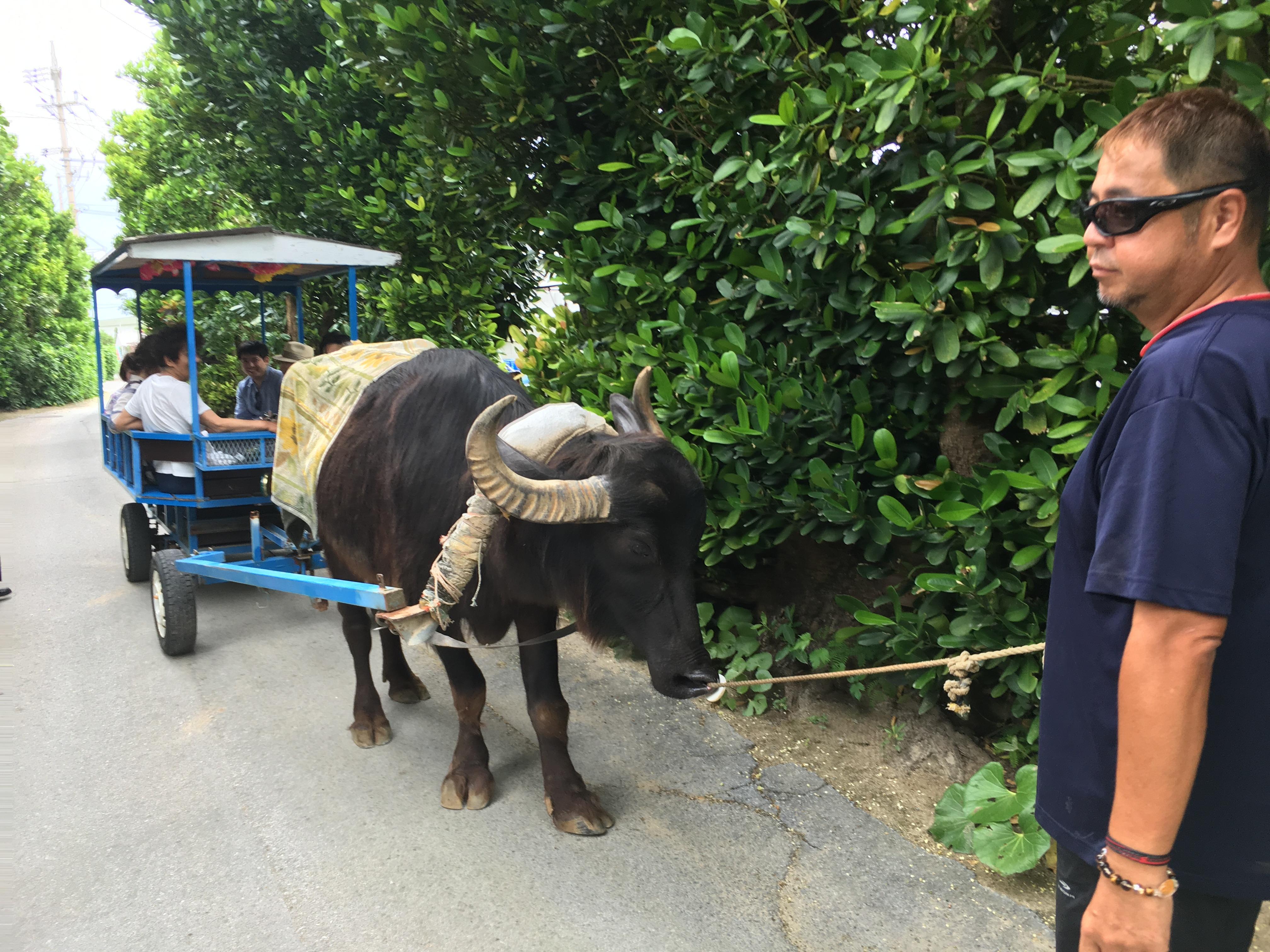 備瀬集落フクギ並木通りの水牛車
