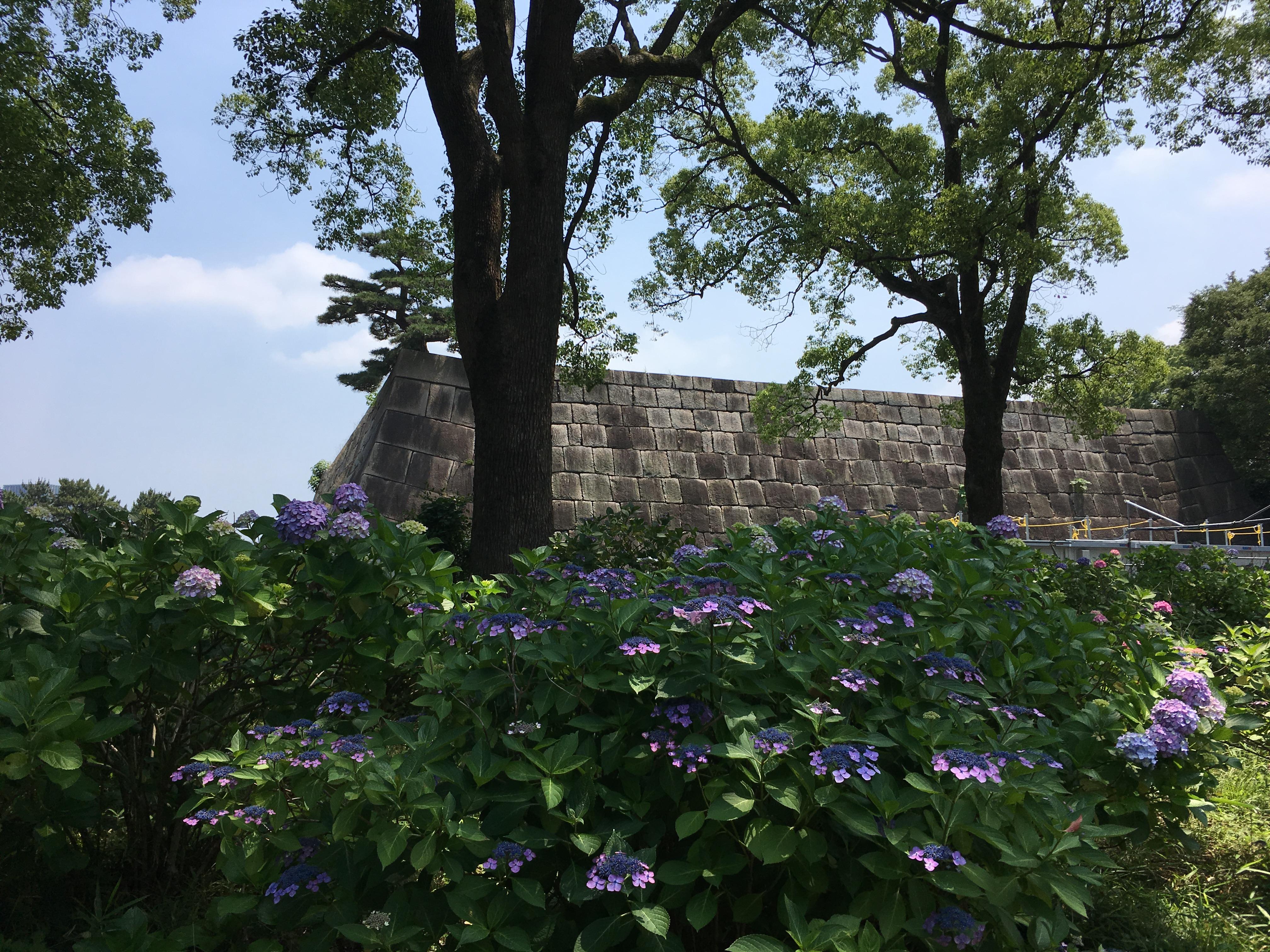 天守台(江戸城跡)とアジサイ