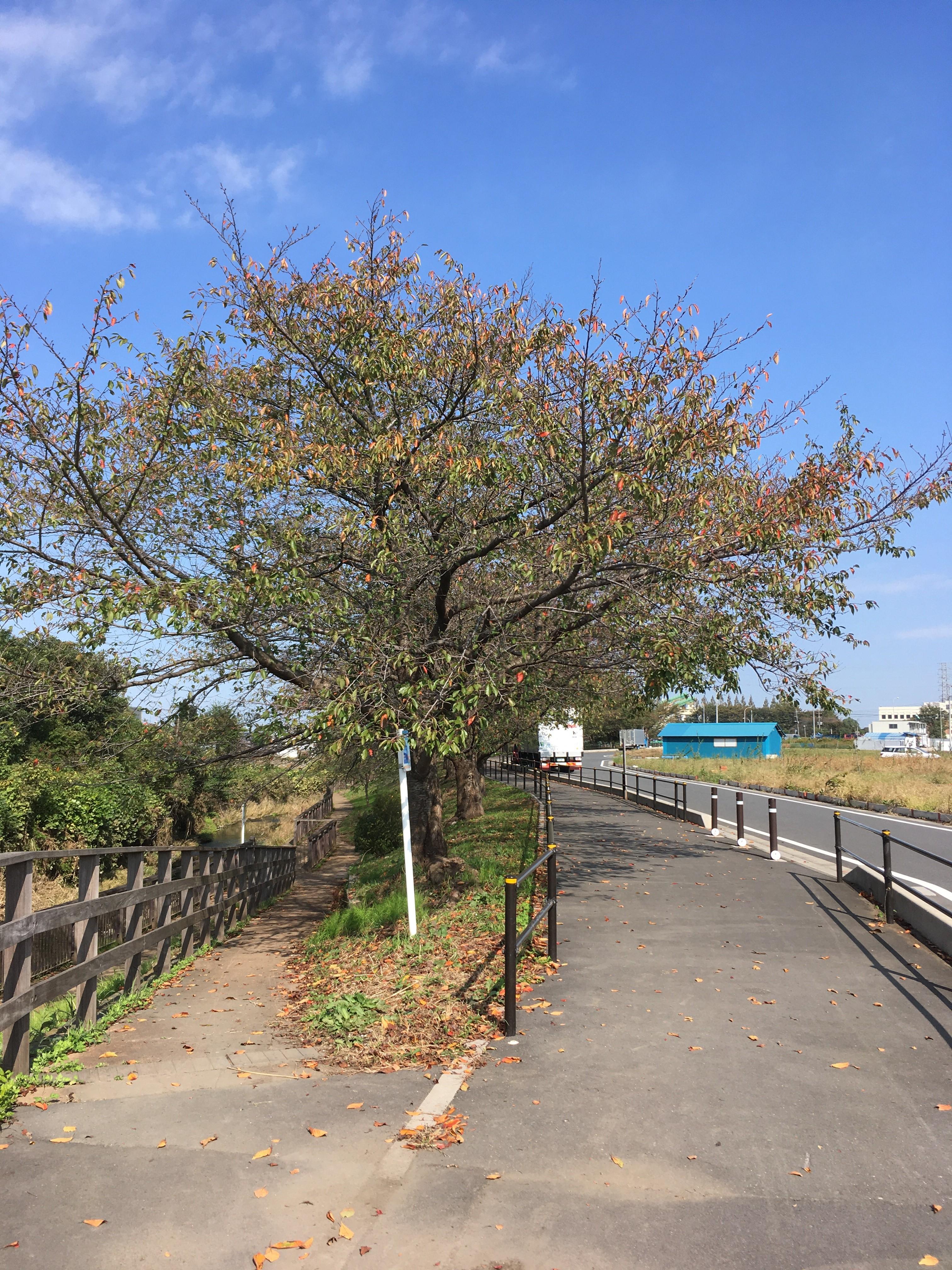 越戸川の桜並木